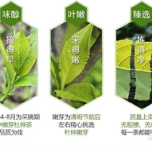 陽泉郊區杜仲葉 杜仲嫩芽茶
