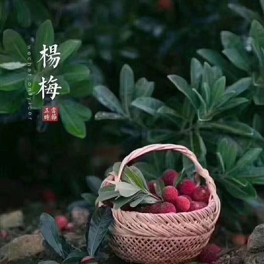 臺州仙居縣 六月中旬仙居東魁楊梅上市,可大批量訂貨