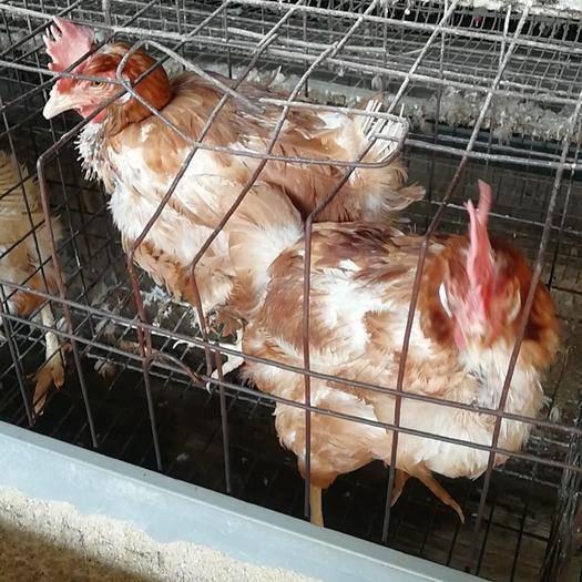 綿陽安州區 籠養產蛋老雞