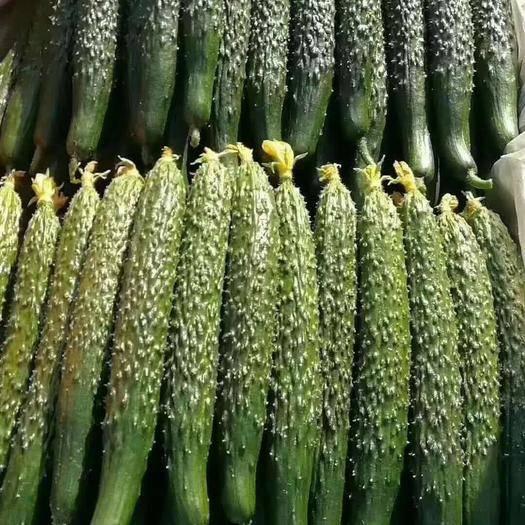 商丘睢阳区 黄瓜,鲜嫩脆甜,量大质优,现大量上市