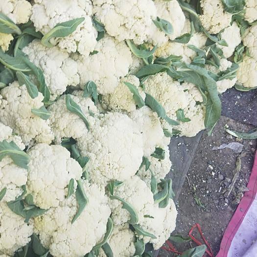 徐州白花菜 有机菜花130天大量现货,刚刚拍的照片,实地拍照。