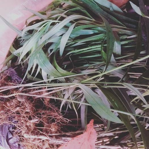 怀化洪江市 出售深山鸡头黄精苗,姜型黄精苗