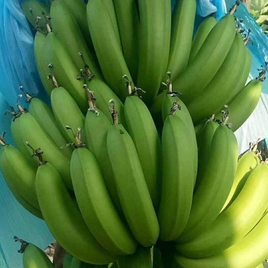 茂名高州市 广东高州香蕉粤西水果自家种植现摘现发批发价不包邮