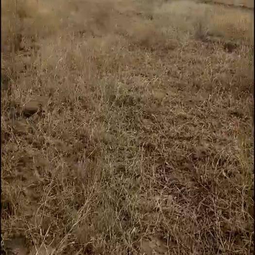 科爾沁左翼后旗有林地 一萬畝林地適合種植藥材草類經濟林