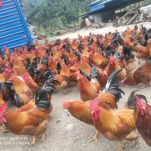 來賓金秀瑤族自治縣大紅公雞 6-7斤 公