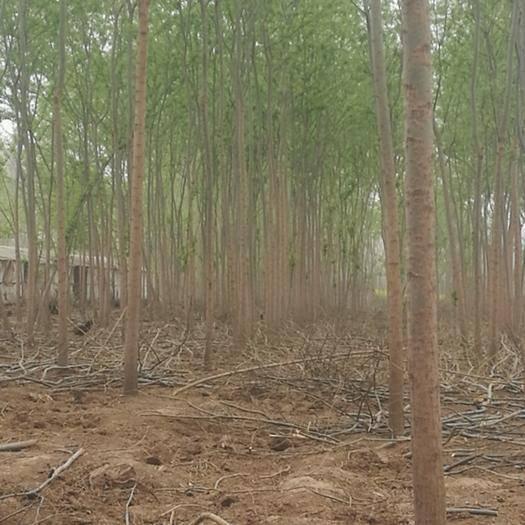 焦作山陽區竹柳 現貨海量供應七公分以上優質青柳、速生柳,量大從優