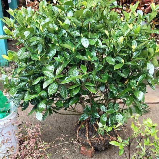 杭州 綠化苗木。大葉梔子花球