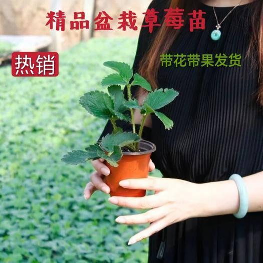平邑县 精品盆栽草莓苗  脱毒育苗 带盆发货