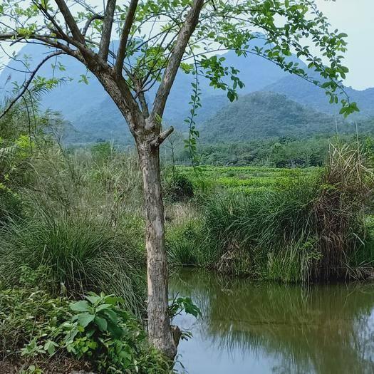 河池 柘木