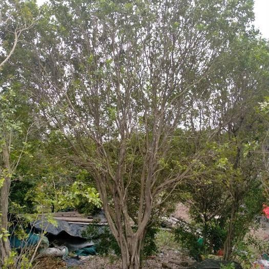 汕尾海豐縣 三十年齡高樁九里香全冠大樹想出嫁豪門,誰來?