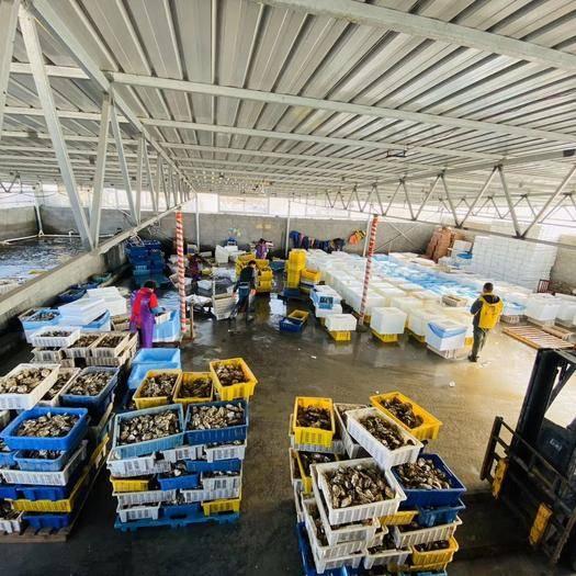 乳山市乳山牡蠣 【超級凈化,硬規格】精品乳山生蠔,包質量包售后。全國一手