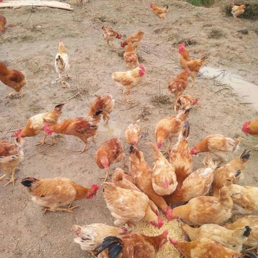 永州冷水灘區 正宗五谷山養雞