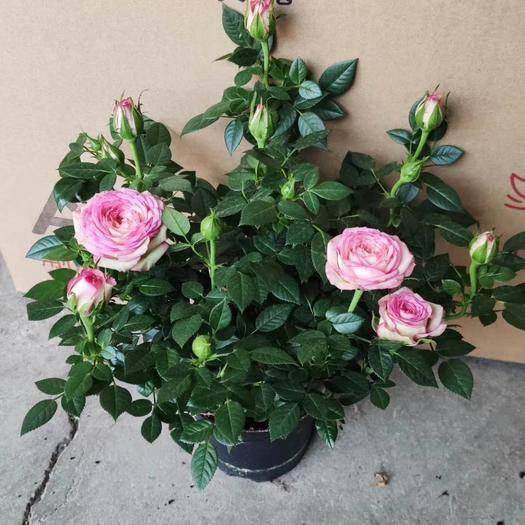 昆明呈貢區 玫瑰盆栽,如圖隨機顏色混發。尺寸控勿拍謝謝!