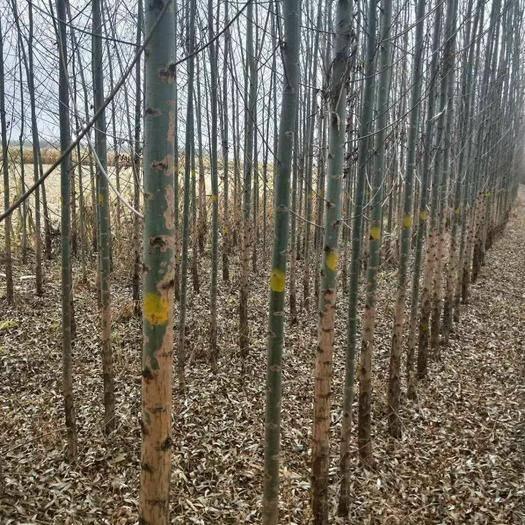 哈爾濱平房區 大量供應各規格垂暴109柳樹,竹柳,饅頭柳。1-16公分