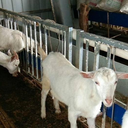 渭南富平縣 關中奶山羊,羊羔,產奶羊