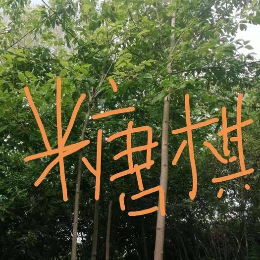 黑河北安市造型糖槭樹