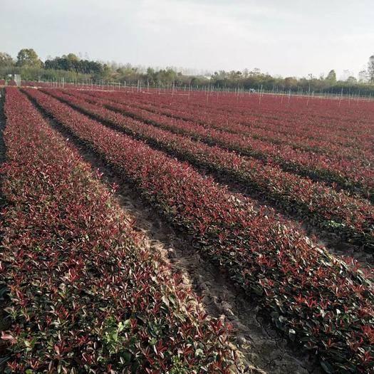光山縣 營養小杯紅葉石楠苗,三十到五十高。量大常年供應。