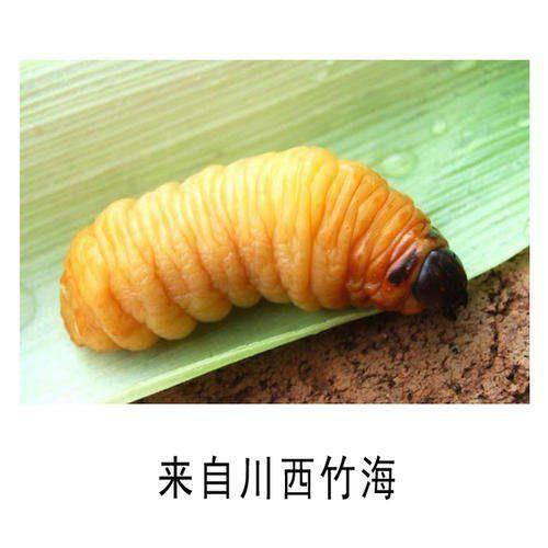 乐山沐川县 高蛋白   笋蛆  竹虫