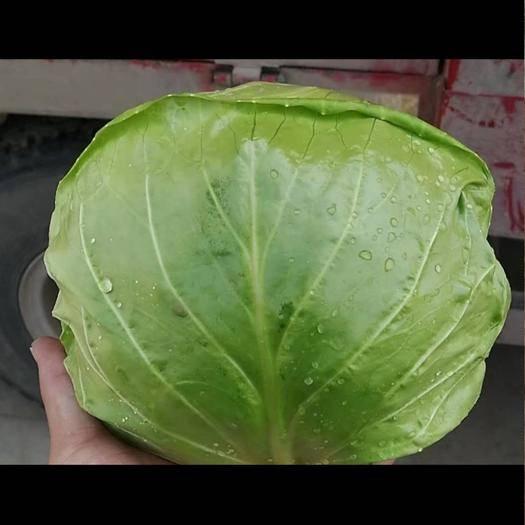 单县大头白菜 大头菜,2斤左右