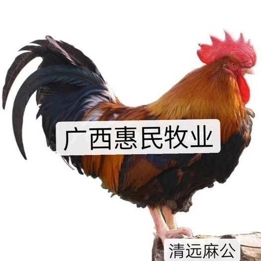 南宁西乡塘区 (热销) 清远麻鸡苗 正宗土鸡包疫苗 包路损 假一赔十