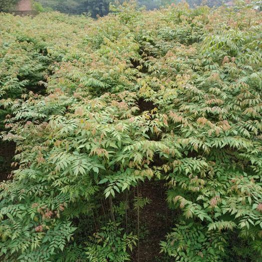 重慶普通欒樹