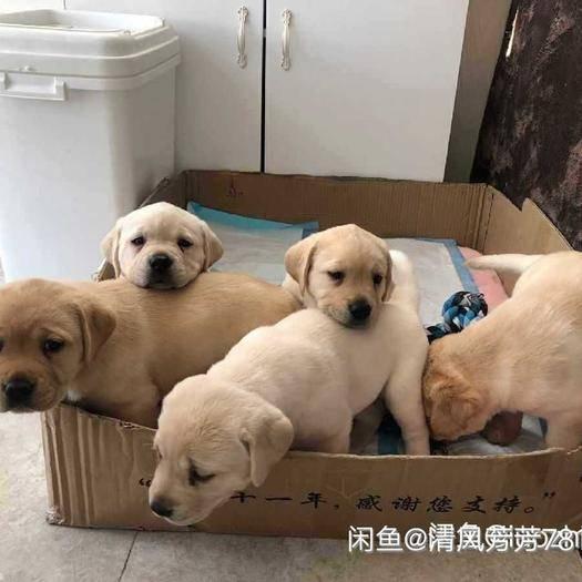 徐州新沂市 正宗土狗苗,适合养殖户常年批发供货商共用