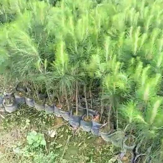 荔浦市湿地松树苗 供20万湿地松大杯苗,规格50-70公分高,价格2.5元一株