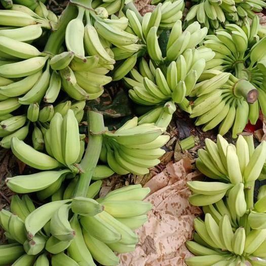 东莞市 香蕉供货