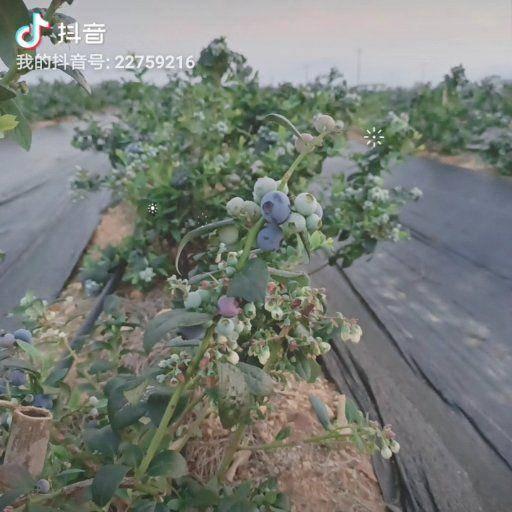 玉溪澄江縣 新鮮采摘藍莓 現摘現發