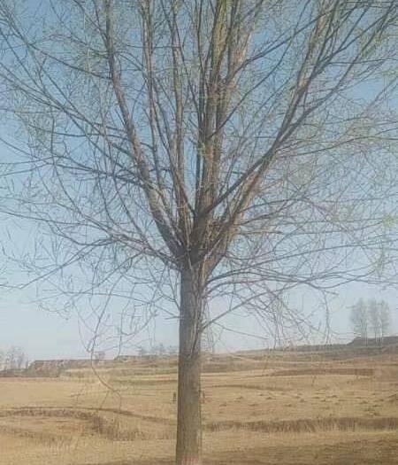 菏澤鄆城縣饅頭柳 樹形漂亮,冠圓桿直