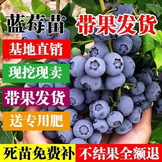 临沂平邑县 南大蓝莓苗盆栽地栽南北方种植现挖现发基地直销当年结果苗