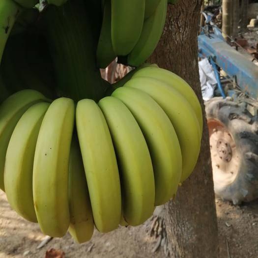 乐东黎族自治县 海南香蕉粉蕉