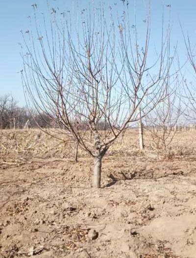 張家口懷來縣 16公分八棱海棠樹價格 17公分八棱海棠樹價格