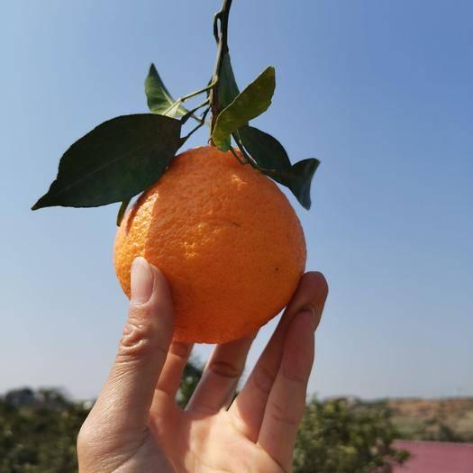 眉山东坡区不知火 (坏果包赔)四川柑橘  丑桔  一件代发