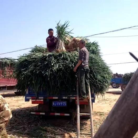 中牟縣 我們的山東大蔥開賣了發往全省