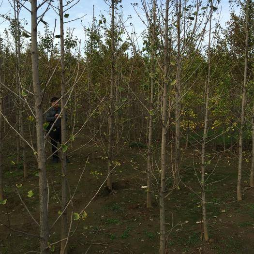 徐州邳州市 邳州市順義銀杏苗木種植專業合作社,出售4一6公分銀杏樹