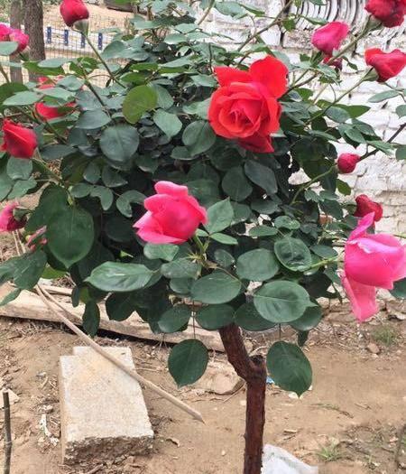 開封通許縣 嫁接多色濃香型月季玫瑰按嫁接牙說價錢,倆色20元三色30元