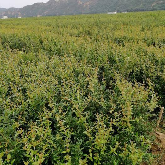 郑州荥阳市突尼斯软籽石榴树苗 突尼斯软籽石榴苗所剩无几,有需要的话赶快下单吧