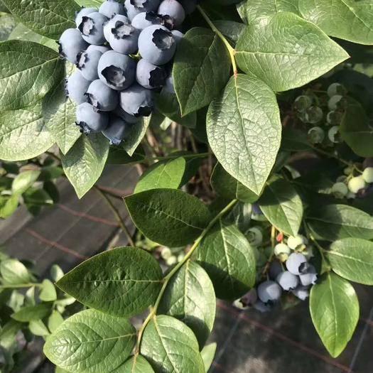 丹東鳳城市 藍莓H5