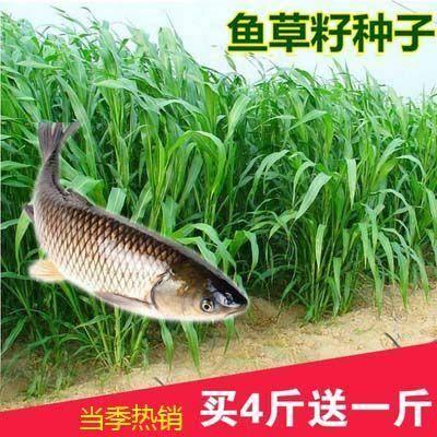 长沙芙蓉区 鱼草种子 苏丹草种子 牧草种子高产牧草种子畜牧草种子牛羊猪鸡