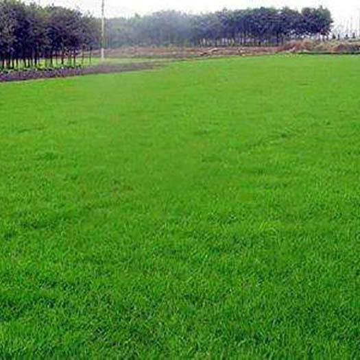 宿迁沭阳县高羊茅种子 高羊茅,护坡专用草坪,四季草坪,量大优惠,全国货到付款