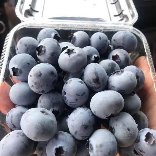 丹東東港市 遼寧丹東藍莓