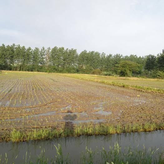 南京水田 40畝養蝦田,水利 交通便利