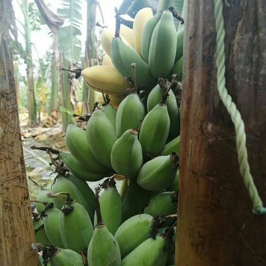 南宁 广西苹果蕉肥蕉一件代发34包邮