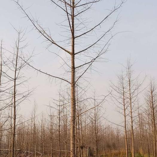 徐州邳州市 基地直銷16一18公分銀杏樹