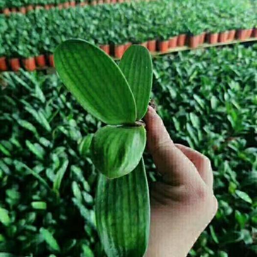 广州君子兰种子 鞍山君子兰小苗 圆头宽短叶 3-4叶 基地直销