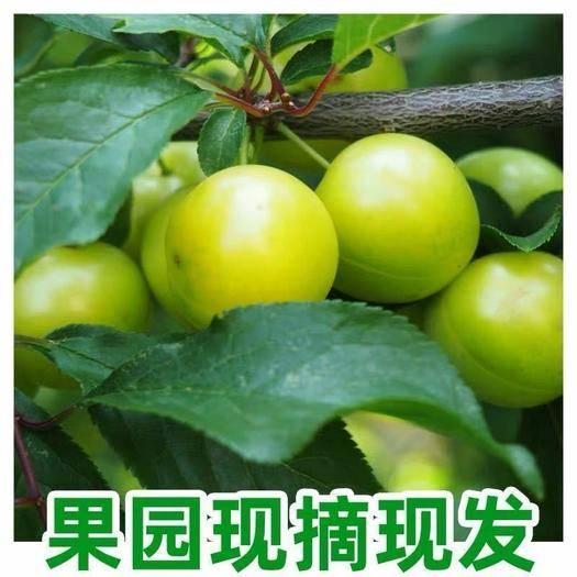 昆明 (22元5斤包邮)现摘三月李子新鲜水果当季应季5斤装孕妇水