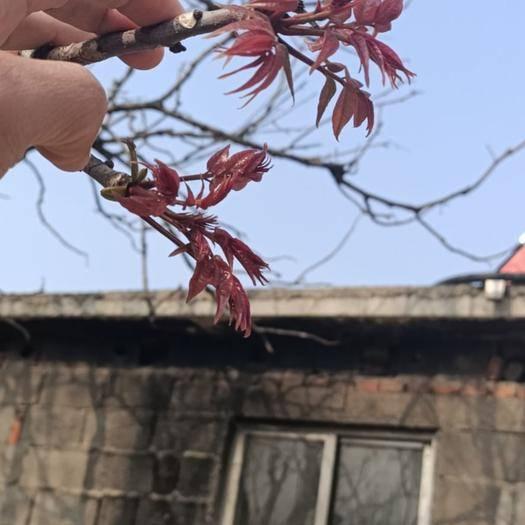 临沂蒙阴县红香椿芽 第一茬香椿