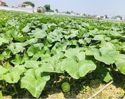 长沙 鲜南瓜精品质量基地直供价格美丽