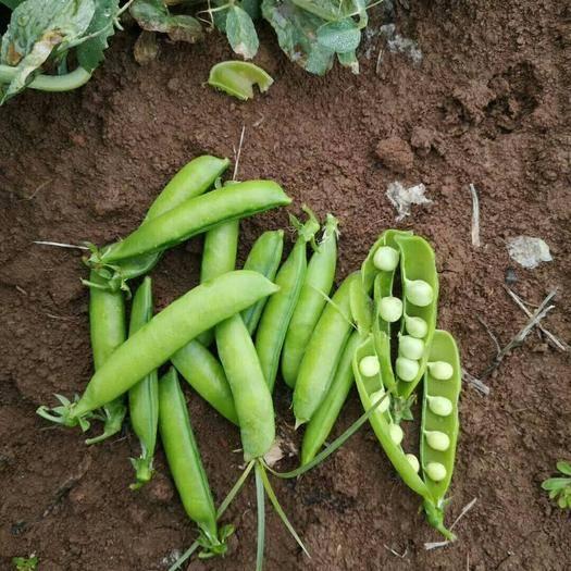 襄樊襄州区 本地豌豆荚。上市